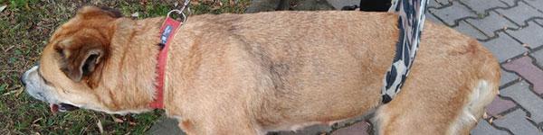 Zerwane więzadło krzyżowe – czy uratujemy tego psa?